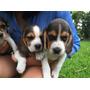 Venta De Cachorritos Beagle