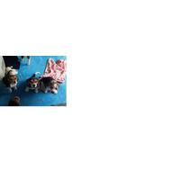 Cachorros Raza Beagle De 2 Meses 1 Machito Y 2 Hembras....