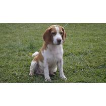 Semental Beagle Con Pedigree De Campeones, Renta