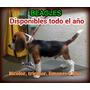 Beagles De Calidad