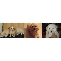 Preciosos Cachorritos Maltes , Maltesito Mexicano O Maltipoo
