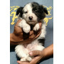 Cachorro Border Collie Con Pedigree Internacional
