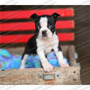 Gran Oferta Cachorros Boston Terrier Genuinos Registro Fcm