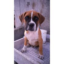 Boxer Cachorro