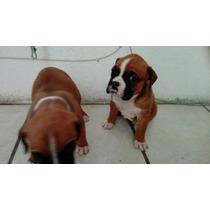 Cachorritas Boxer