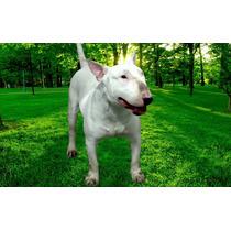 Bull Terrier Ingles Hermoso Para Montas, Gran Semental