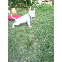 Cachorro Bull Terrier Inglés