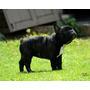 Bulldog Francés Magno ( Macho )