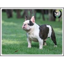 Bulldog Frances Excelente Macho ( Disponible Para Monta )