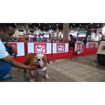 Precioso Bulldog Ingles En Renta Como Semental