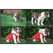 Cachoro Bulldog Ingles 6 Meses Pedigree Internacional