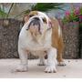 Semental Bulldog Ingles Nieto De Rembombory Trichet