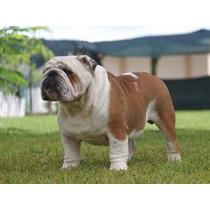 Semental Bulldog Ingles Rembombory De La Hoya Imp. España