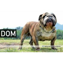 Semental Monta Bulldog Ingles. Calidad Premium.