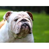 Bulldog Ingles Campeon Mexicano Servicio De Monta (europeo)