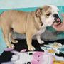 Bulldog Ingles Linea Trichet-dylan 7 Meses Crédito Directo