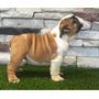 Bulldog Ingles Excelentes Cachorros Nietos Comet