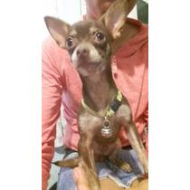 Chihuahua Cabeza De Manzana Monta