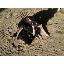 Venta De Cachorros Chihuahua