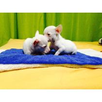 Chihuahua Miniatura Blancos