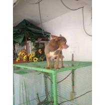 Chihuahua Bolsillo Busca Novia, 12 Cms A La Cruz