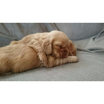 Cachorras Cocker Spaniel