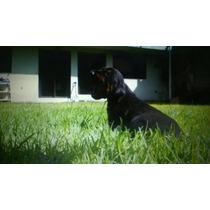 Vendo Cachorros Doberman Legitimos Urge!!! Aptos Para Regist