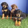 Ultimos Cachorros Doberman De A 4500 A Solo 2490
