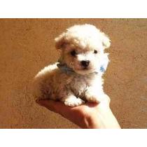 Cachorros Tacita De Te French Poodle Con Vacunas