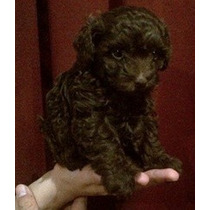 Lindo Cachorrito French Poodle Tacita Mini Chocolate