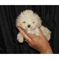 Cachorros French Poodle Tacita De Te Ya Vacunados