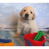 H E R M O S O S Cachorros Golden Retriever *criadero Robcan*