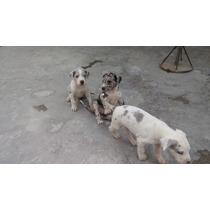 Cachorros Gran Danes 2 Hembras Y 1 Macho De Un Mes Y Medio
