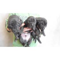Cachorros Gran Danes Negros En Hermosillo