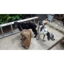 Cachorros Gran Danés Y Madre
