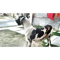 Cachorros Gran Danés