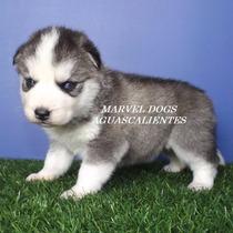 Preciosos Cachoros De Husky Siberiano Ojos Azules