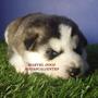 Hermosos Cachorros Husky Siberiano Ojos Azules