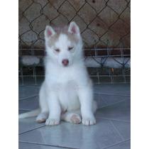 Bonitos Cachorros Color Red Lihgt 1 Ojos Azues Criadero Zeus