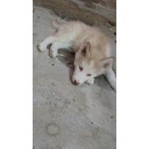Husky Siberiano Zarco Macho