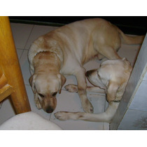 Labrador Retriever Semental Pedegree Nacional