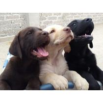 Cachorros Labrador - Envios A Toda La Republica