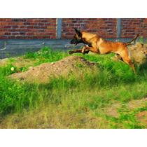 Cachorros Pastor Belga Malinois Con Pedigree Internacional