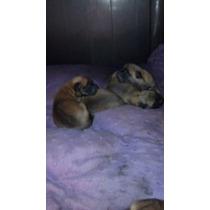 Cachorros Belga Malinois Con Pedigree.