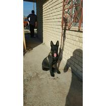Cachorros Pastor Belga Extra Carbonados Con Pedigree