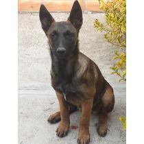 Preciosas Cachorras Pastor Belga Malinois