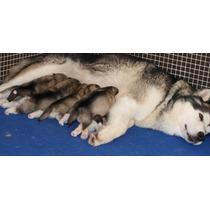 Cachorros Alaska Malamute Pedigree