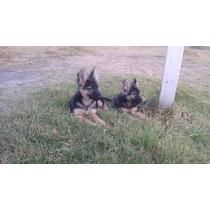Cachorros Pastor Aleman Ultimas 2 Hembras Hermosas!!