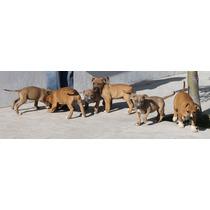 Pit Bull Terrier Americano-hermosas Cachorras