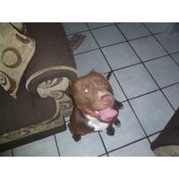 American Pitbull Terrier Red Nose Para Montas Toluca